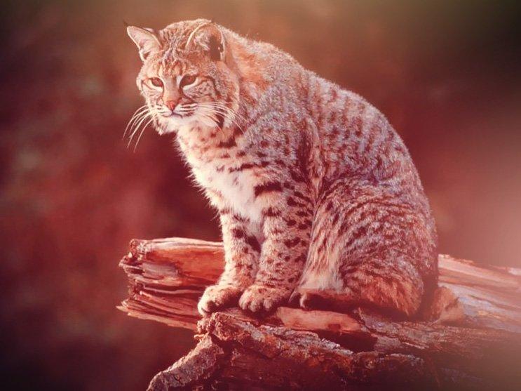 Donde vive el gato montes