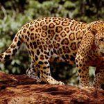 ¿Dónde vive el jaguar?