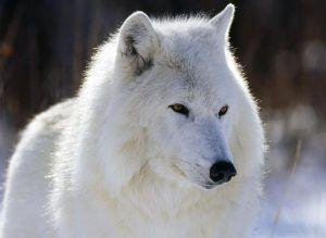 Donde vive el lobo