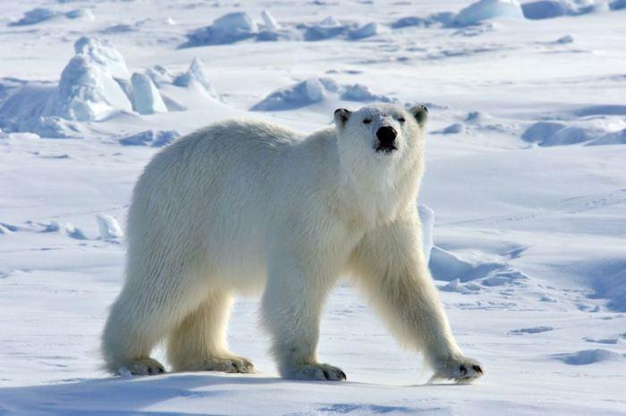 Dónde vive el oso polar