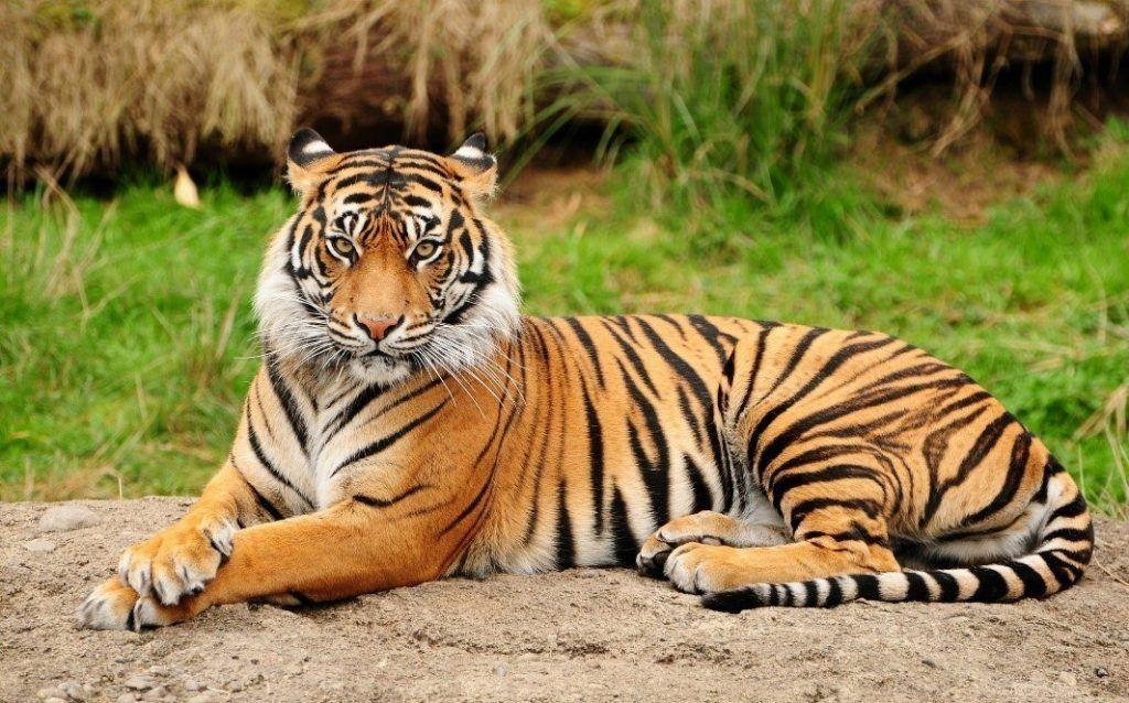 Donde vive el tigre de bengala