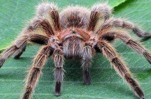 Donde vive la tarantula