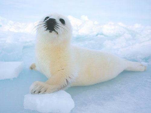 Dónde viven las focas blancas