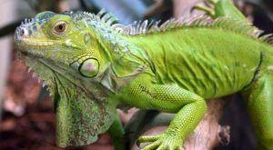 Dónde vive la iguana