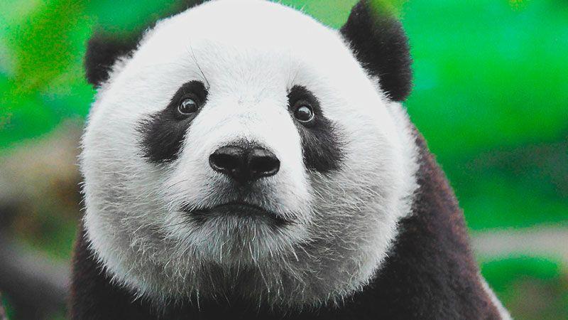 ¿Dónde vive el oso panda?