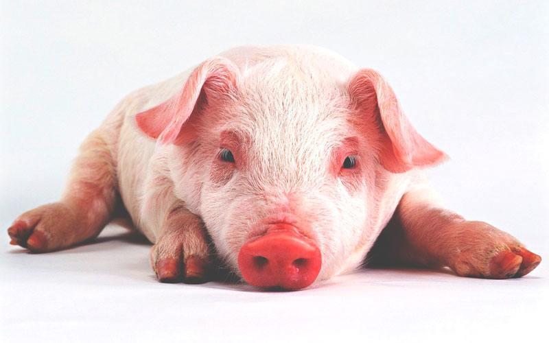 Dónde viven los cerdos