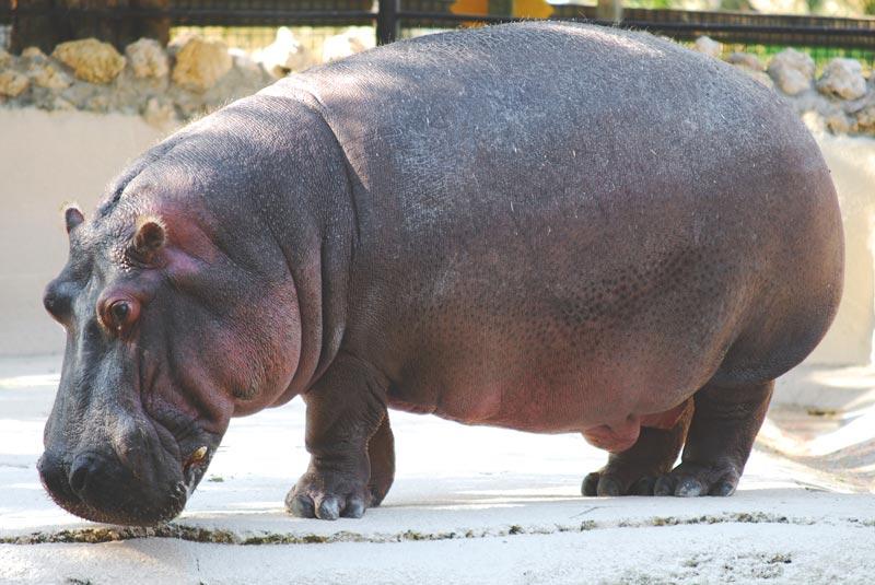 Dónde viven los hipopótamos