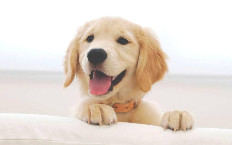La gestación de los perros