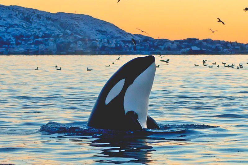 ¿Dónde viven las orcas?
