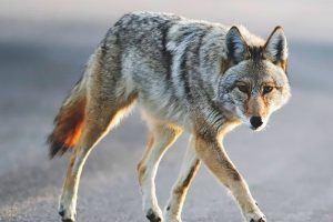 ¿Dónde vive el coyote?