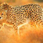 ¿Dónde vive el guepardo?