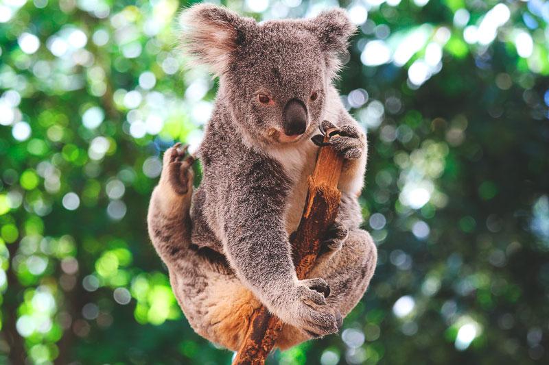 ¿Donde vive el koala?