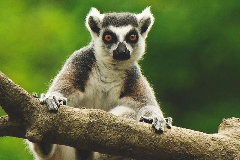 ¿Donde vive el lemur?