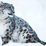 ¿Dónde vive el leopardo de las nieves?