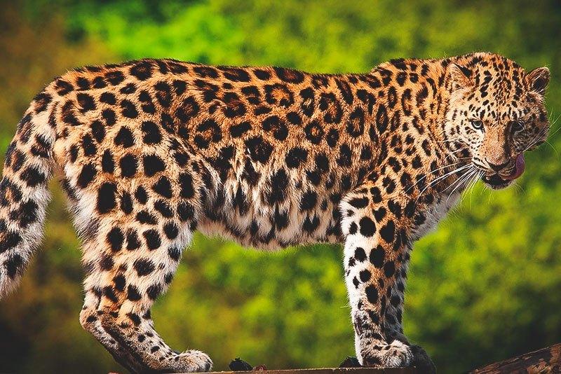 ¿Dónde vive el leopardo?