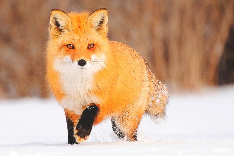 ¿Dónde vive el zorro?
