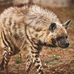 ¿Dónde vive la hiena?