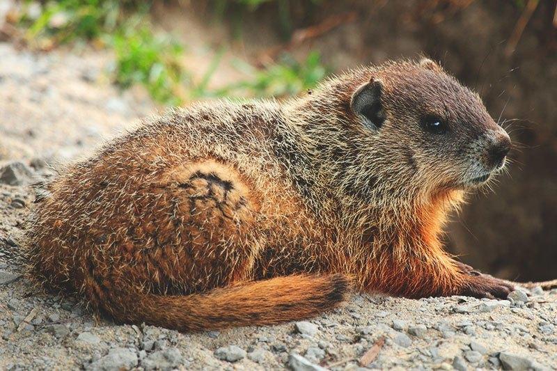 ¿Dónde vive la marmota?