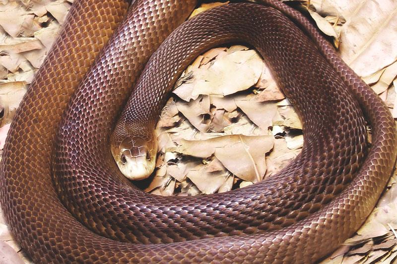 ¿Donde vive la serpiente taipan?
