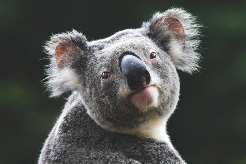 d nde viven los koalas actualizado 2019. Black Bedroom Furniture Sets. Home Design Ideas