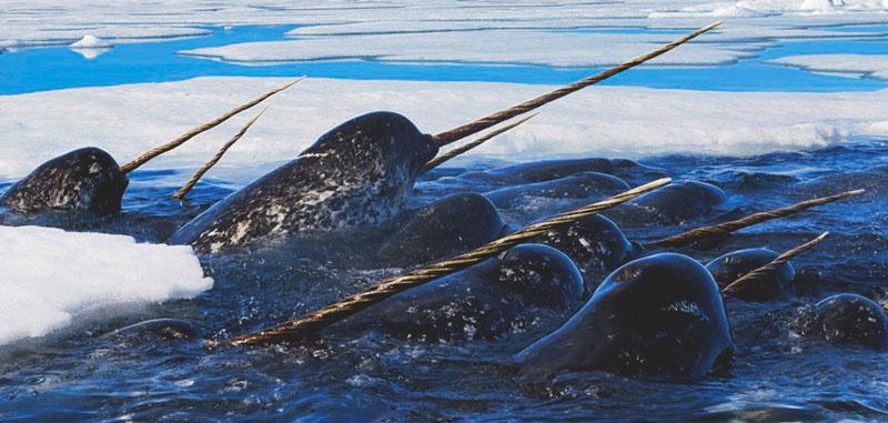 Fotos de ballenas con cuerno 78