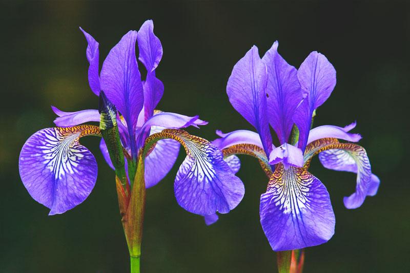 ¿Donde vive el iris?