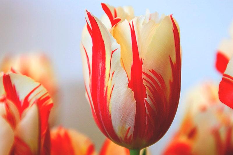 ¿Donde vive el tulipan?
