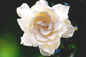 ¿Donde vive la gardenia?
