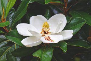 ¿Donde vive la magnolia?