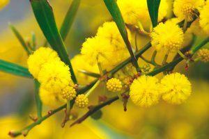 ¿Donde vive la mimosa?