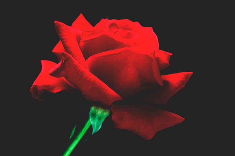 ¿Dónde viven las rosas?