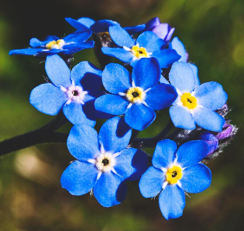 Nomeolvides flor