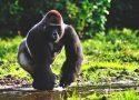¿Dónde vive el gorila?