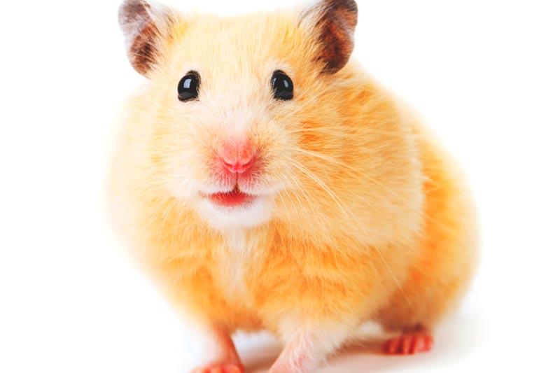 ¿Donde vive el hamster?