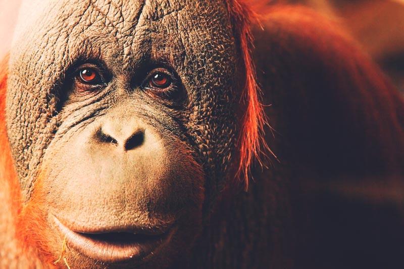 ¿Dónde vive el orangután?