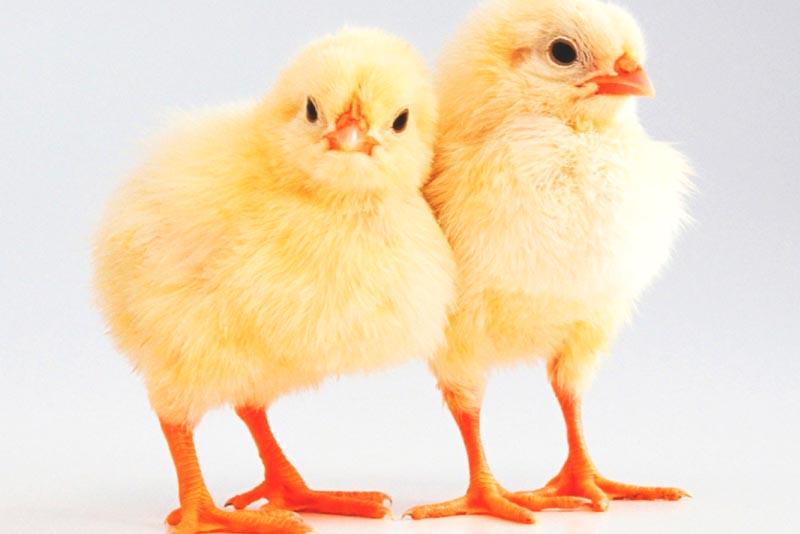 ¿Donde viven los pollos?