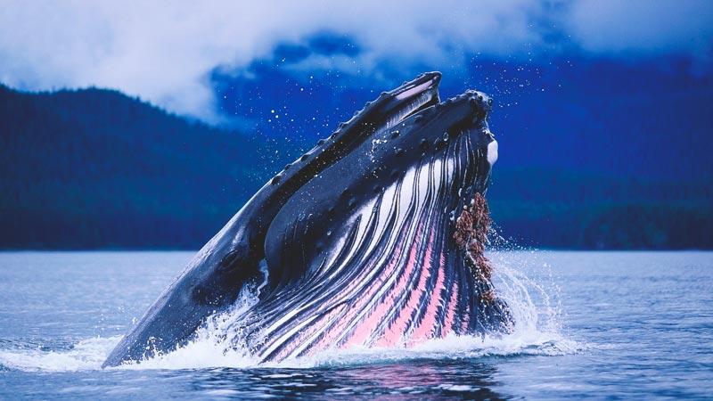 La ballena azul, el animal más grande del mundo