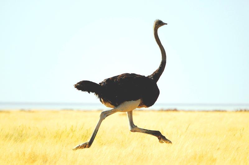 ¿Donde vive el avestruz?