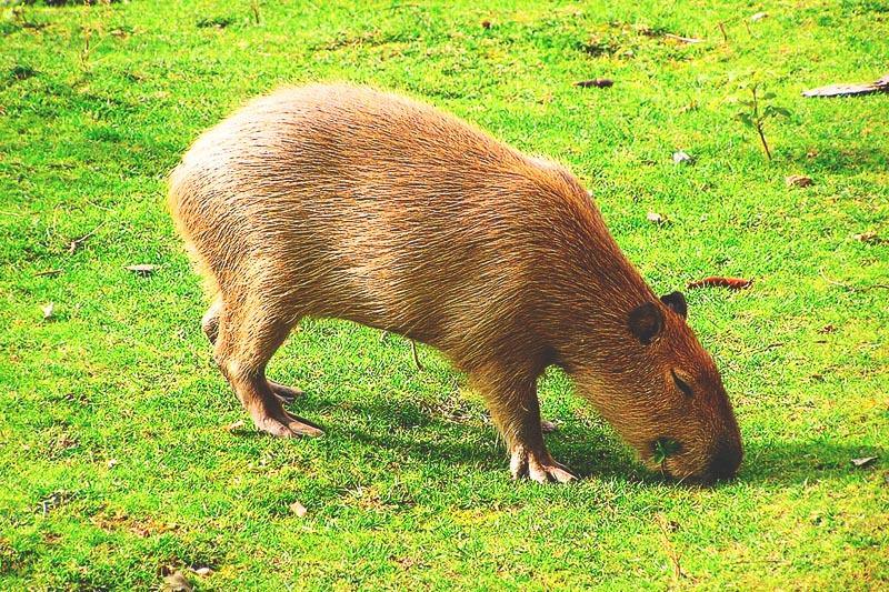 ¿Dónde vive el capibara?