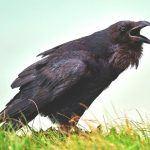 ¿Dónde vive el cuervo?