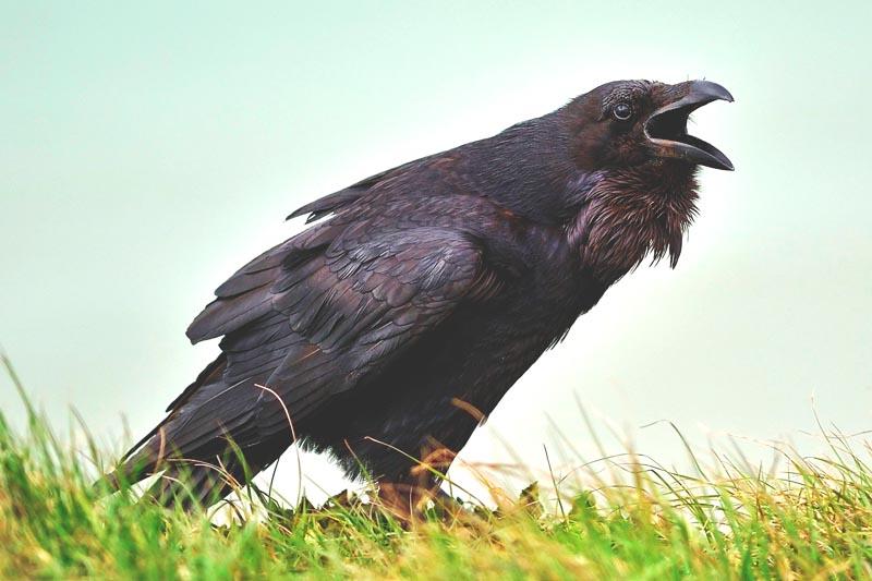 ¿Donde vive el cuervo?