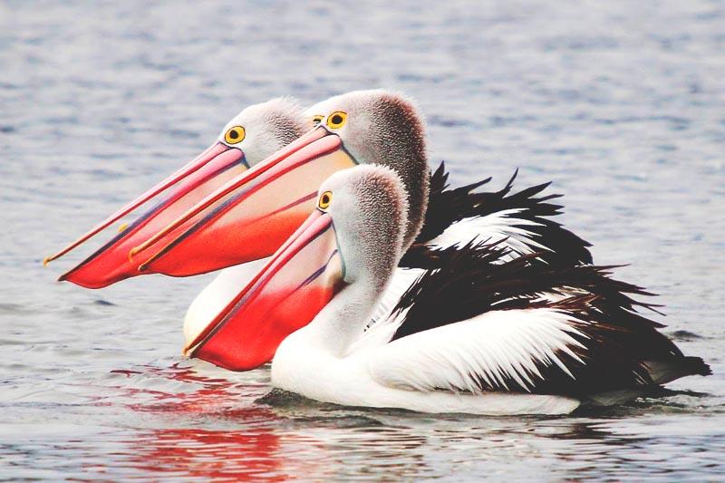 D nde vive el pel cano actualizado 2019 - Fotos de pelicanos ...
