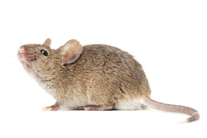 ¿Donde vive el ratón?