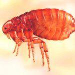 ¿Dónde vive la pulga?