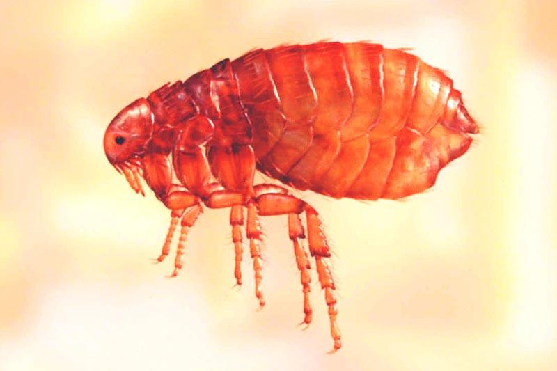 ¿Donde vive la pulga?