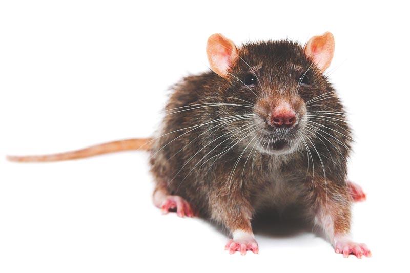 ¿Donde viven las ratas?