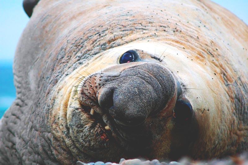 Elefante marino