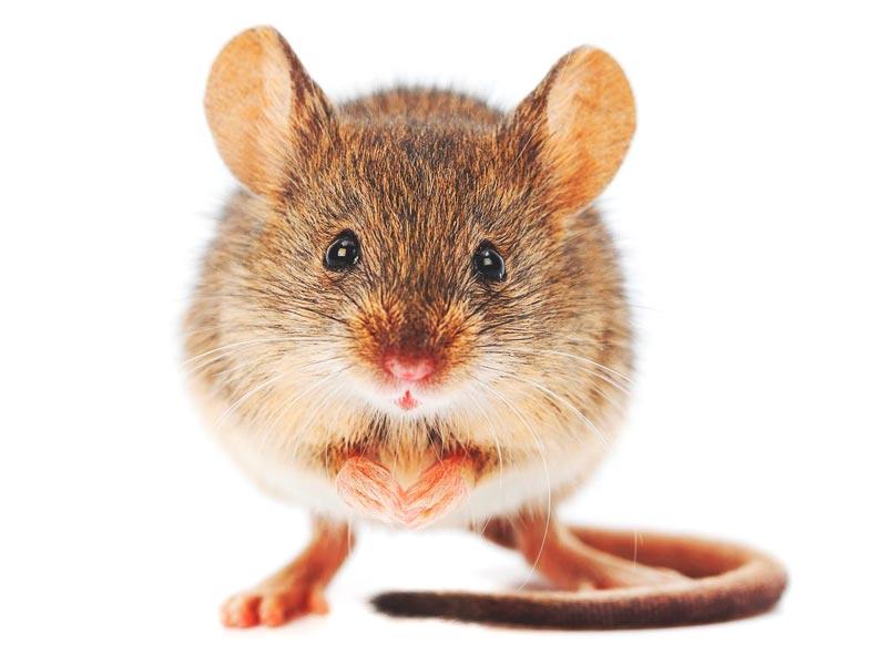 Raton blanco reproduccion asexual