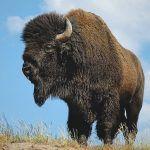 ¿Dónde vive el bisonte?