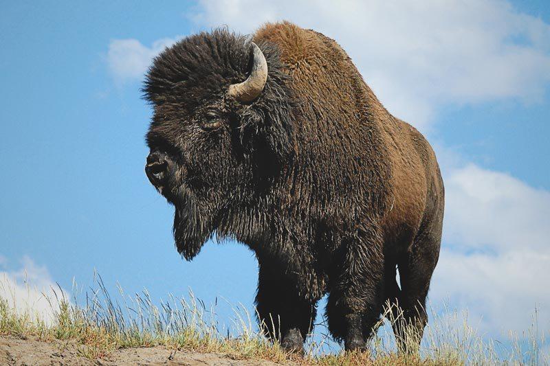 Donde vive el bisonte
